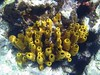 <b>Yellow tube sponges and rock boring urchins</b>   (Jul 16, 2004, 09:54am)