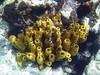 <b>Yellow tube sponges and rock boring urchins</b>   (Jul 16, 2004, 09:54am)