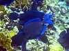 <b>Blue tang</b>   (Jul 22, 2004, 10:30am)