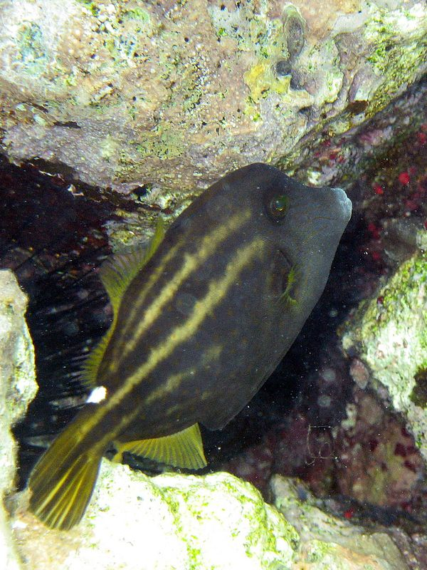 <b>Orange spotted filefish</b>   (Jul 26, 2004, 10:08am)
