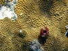 <b>Split-crown feather duster on brain coral</b>   (Jul 24, 2004, 11:36am)