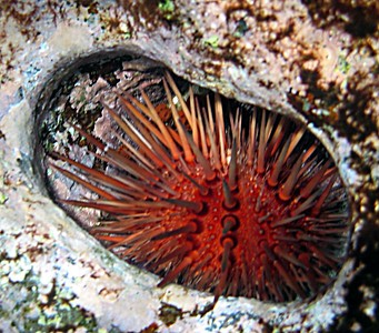 Red rock boring urchin   (Jul 16, 2004, 02:47pm)
