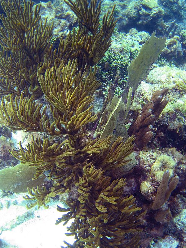 <b>Sea rods and sea fans at Tobago Cays</b>   (Jul 21, 2004, 03:42pm)