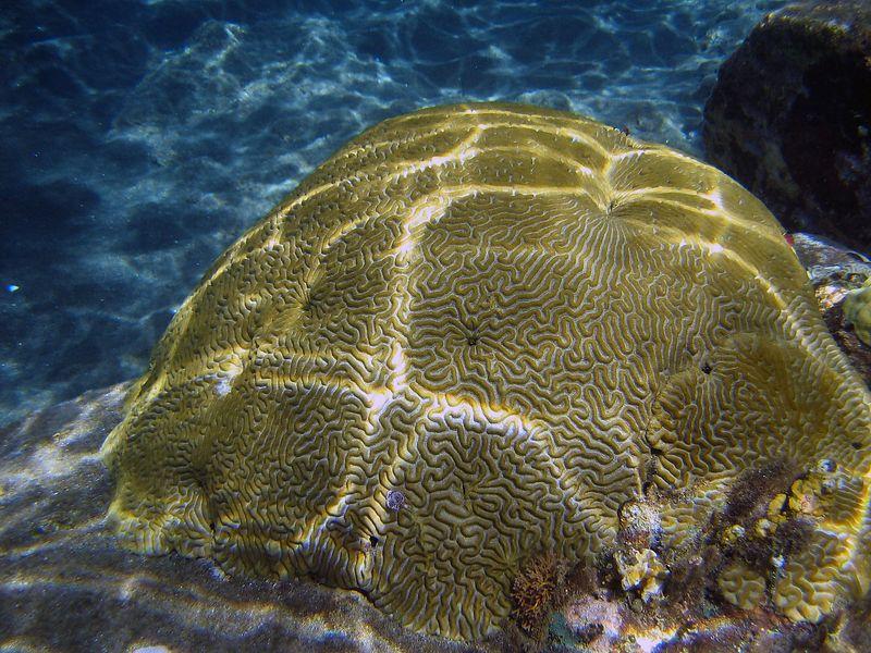 <b>Brain coral in Petit Byahaut bay</b>   (Jul 16, 2004, 09:46am)