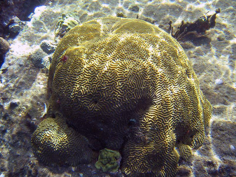 <b>Brain coral</b>   (Jul 16, 2004, 09:46am)