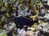 <b>Black durgon (triggerfish)</b>   (Jul 22, 2004, 10:11am)