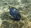 <b>Surgeonfish</b>   (Jul 16, 2004, 10:20am)