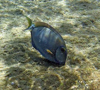 Surgeonfish   (Jul 16, 2004, 10:20am)