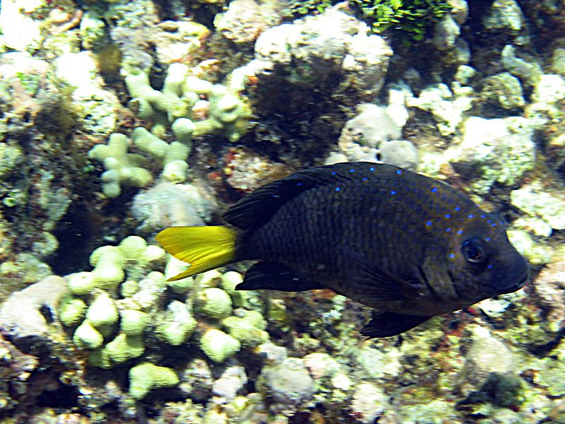 <b>Yellowtail damselfish</b>   (Jul 24, 2004, 11:27am)
