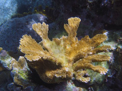 Elkhorn coral   (Jul 16, 2004, 09:55am)