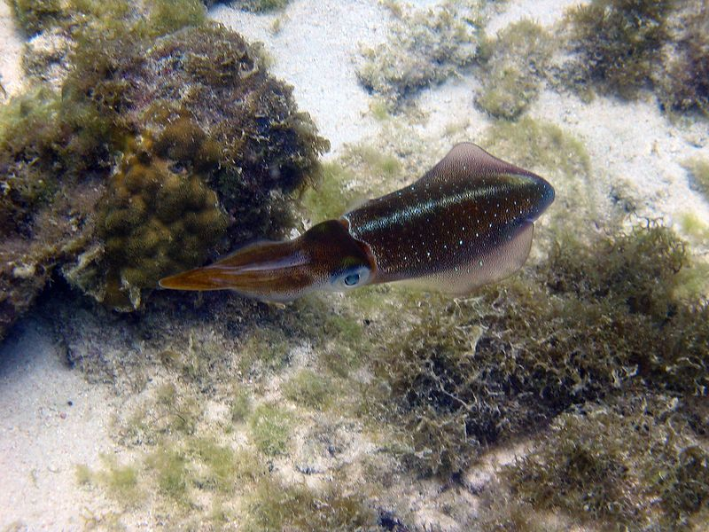 <b>Caribbean reef squid</b>   (Jul 20, 2004, 11:58am)