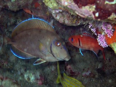 Surgeon fish and squirrel fish in Bayhaut bay   (Jul 16, 2004, 09:46am)