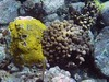 <b>Two types of star coral</b>   (Jul 16, 2004, 09:53am)