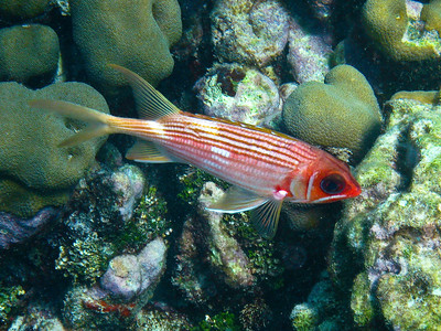 Squirrelfish (Dec 10, 2008, 02:33pm)  Seen among the coral mounds in the Tobago Cay.
