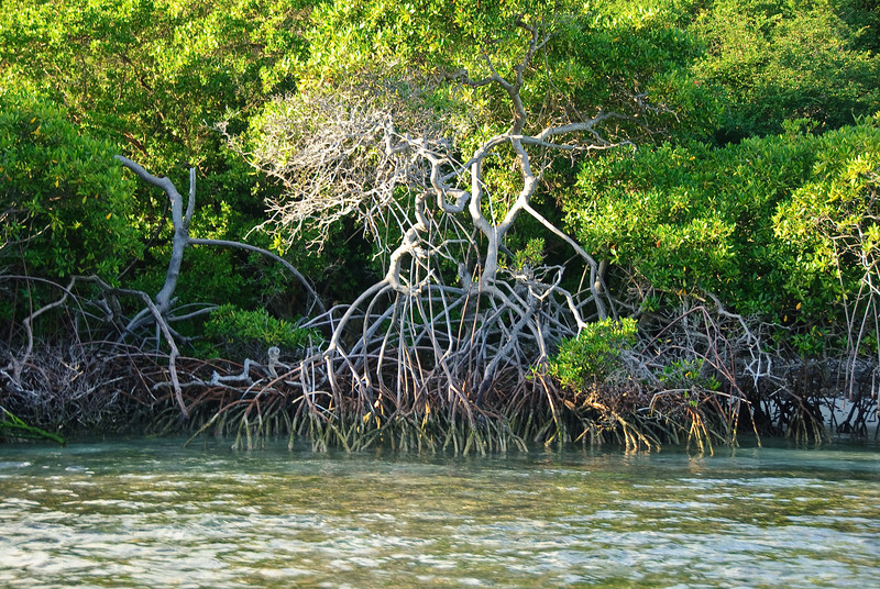 Mangrove roots (Dec 10, 2008, 04:51pm)<br /> <br /> This mangrove is growing on the south shore of Petit Rameau in the Tobago Cays.