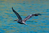 Pelican in flight (Dec 12, 2008, 12:47pm)<br /> <br /> Chatham Bay, Union Island