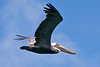 Pelican in flight (Dec 12, 2008, 12:28pm)<br /> <br /> Chatham Bay, Union Island
