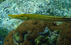 Trumpet Fish (Dec 13, 2008, 03:02pm)<br /> <br /> [Species identification pending].  Just off Young Island, next to St. Vincent.