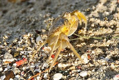 Ghost crab (Dec 9, 2008, 08:23am)  Seen on the beach south of Britannia Bay, Mustique.