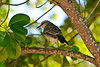 Bird (Dec 10, 2008, 03:49pm)<br /> <br /> [Species identification pending].  This little fellow was seen in a tree on Petit Bateau in the Tobago Cays.