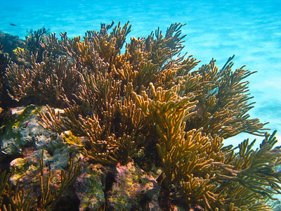 Sea Fan (Dec 10, 2008, 10:14am)  [Species identification pending].  On one of the coral mounds inside Horseshoe Reef in the Tobago Cays.