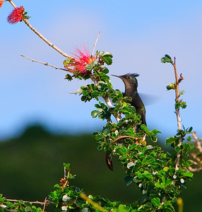 """Antillean Crested Hummingbird (Dec 8, 2008, 08:52am)  Spotted in the bushes near """"The Fort"""", which overlooks Admiralty Bay in Bequia from the north."""