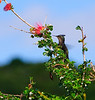 "Antillean Crested Hummingbird (Dec 8, 2008, 08:52am)<br /> <br /> Spotted in the bushes near ""The Fort"", which overlooks Admiralty Bay in Bequia from the north."