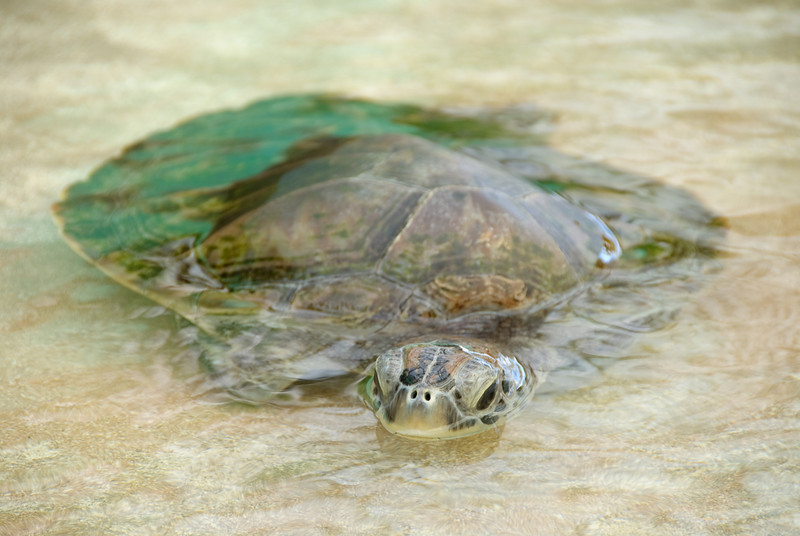 Sea Turtle (Dec 8, 2008, 09:27am)<br /> <br /> This turtle was floating in a tank at the Bequia Turtle Farm.