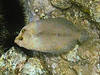 Flounder Revealed, As It Moves (Dec 13, 2008, 02:58pm)<br /> <br /> This is the same flounder that was camouflaged in the previous picture; however, this was taken as the flounder was moving between rocks.  Notice it has lost its camouflage coloration.