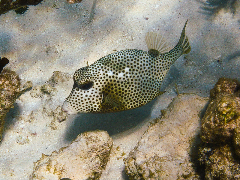 Trunkfish (Dec 10, 2008, 10:12am)<br /> <br /> This trunkfish was swimming among tcoral mounds inside Horseshoe Reef in the Tobago Cays.