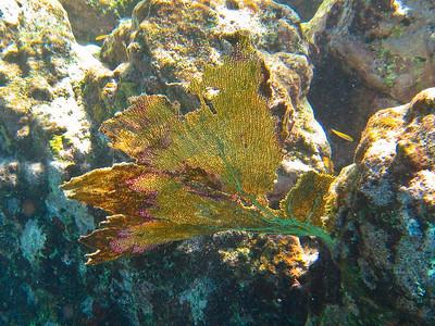 Common sea fan (Dec 8, 2008, 01:03pm)  Seen snorkeling next to Petit Nevis