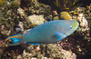 Queen Parrotfish (Dec 10, 2008, 02:31pm)<br /> <br /> Seen among the coral mounds in the Tobago Cay.