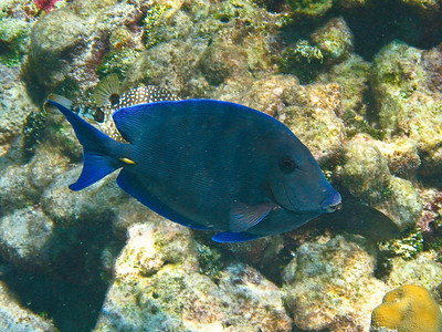Blue Tang (Dec 10, 2008, 10:47am)  [Species identification pending].  Among the coral mounds inside Horseshoe Reef in the Tobago Cays.