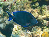 Blue Tang (Dec 10, 2008, 10:47am)<br /> <br /> [Species identification pending].  Among the coral mounds inside Horseshoe Reef in the Tobago Cays.