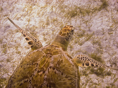 Green Sea Turtle (Dec 9, 2008, 02:49pm)  This turtle is eating sea grass on the ocean bottom (at a depth of perhaps 12-15 feet).  The sea grass fields are in a protected area just south of Baradal Island in the Tobago Cays.