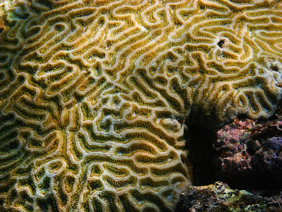 Brain coral close up