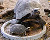 A pair of tortoises