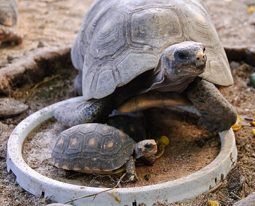 A pair of tortoises