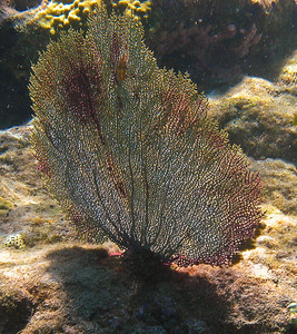 Common sea fan with Flamingo tongue