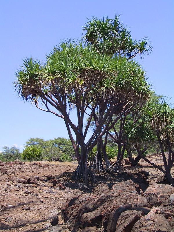 <b>Trees at Lapakahi park</b>   (Jul 15, 2001, 01:07pm)
