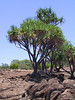 <b>Trees at Lapakahi park</b>   (Jul 15, 2001, 01:07pm)