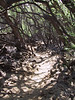 <b>Through the woods on the Malama Petroglyph Trail</b>   (Jul 15, 2001, 02:04pm)
