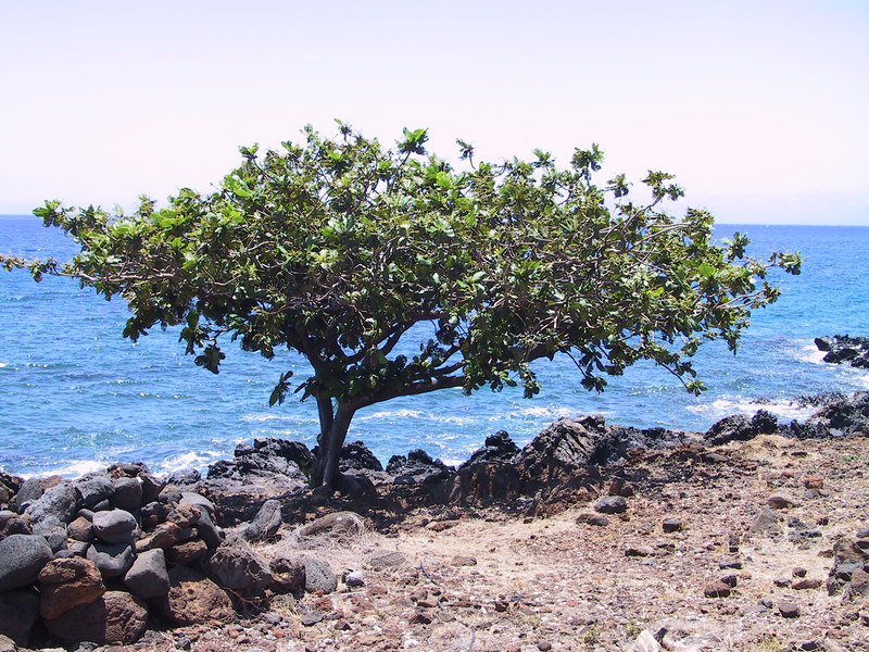 <b>Tree at Lapakahi park</b>   (Jul 15, 2001, 01:08pm)