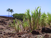 <b>Sugar cane at Lapakahi park</b>   (Jul 15, 2001, 01:18pm)