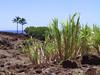<b>Sugar cane at Lapakahi park</b>   (Jul 15, 2001, 01:18pm)