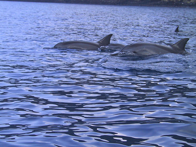 Wild dolphins in Kealakekua Bay   (Jul 16, 2001, 08:53am)