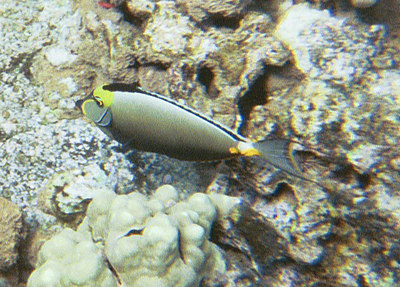 Some type of surgeonfish   (Jul 16, 2001, 10:00am)