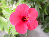 <b>Red Hybiscus flower</b>   (Jul 16, 2001, 02:26pm)