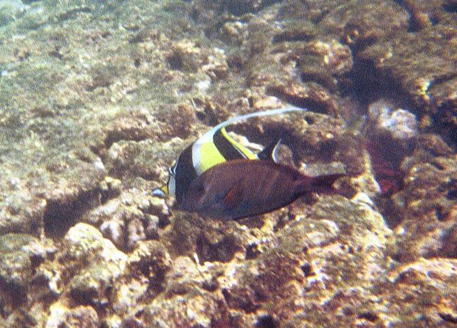 <b>Moorish idol behind another fish</b>   (Jul 16, 2001, 10:00am)