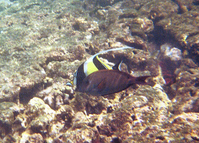 Moorish idol behind another fish   (Jul 16, 2001, 10:00am)